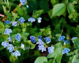 How did THAT get into my lawn: Speedwell