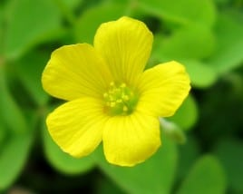 How did THAT get into my lawn: Oxalis