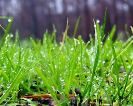 Blades of grass with water droplets