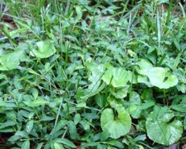How Weeds Get Into Your Lawn