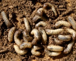 Group of White Grubs invading a lawn