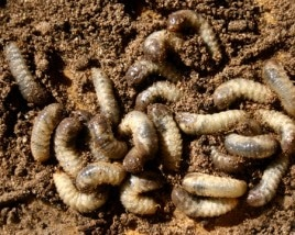 Lawn Invasion: Grubs