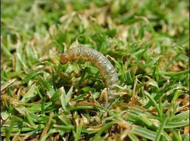How Did THAT Get Into My Lawn: Sod Webworms