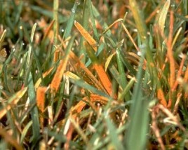 orange lawn rust