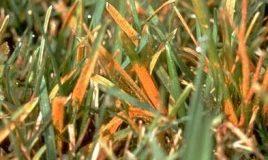 orange-lawn-rust-268x214