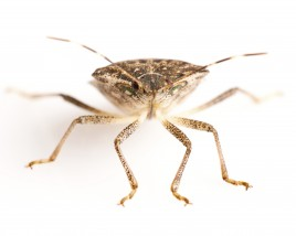Stink Bugs: They're Baaaack!