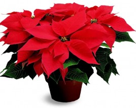 Selecting and Caring for Winter Holiday Plants