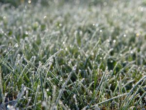 Why Your Lawn May Thin During Winter