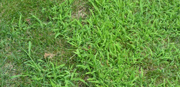 crabgrass on lawn