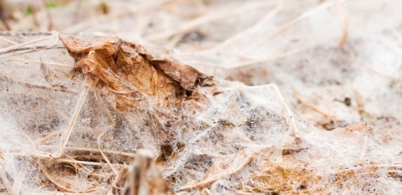 Snow Mold in spring