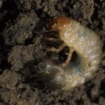Grub in dirt under grass
