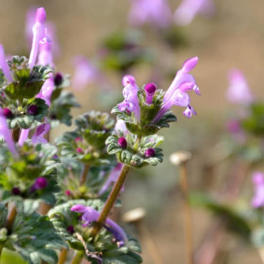 Henbit/Purple Deadnettle