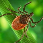 Tick on blade of grass