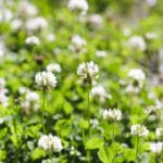 Clover - weed