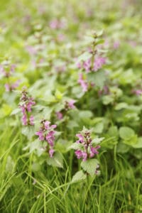 Henbit Purple Nettle - lawn weed