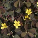 Oxalis - Broad Leaf Weed