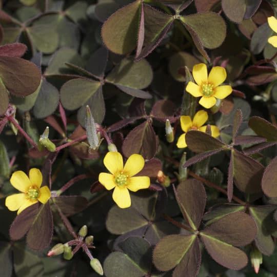 Broad Leaf Weed Profile: Oxalis