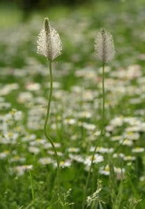 Plantain - lawn weed