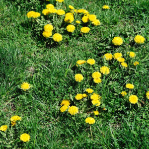 Best way to get rid of weeds in your lawn