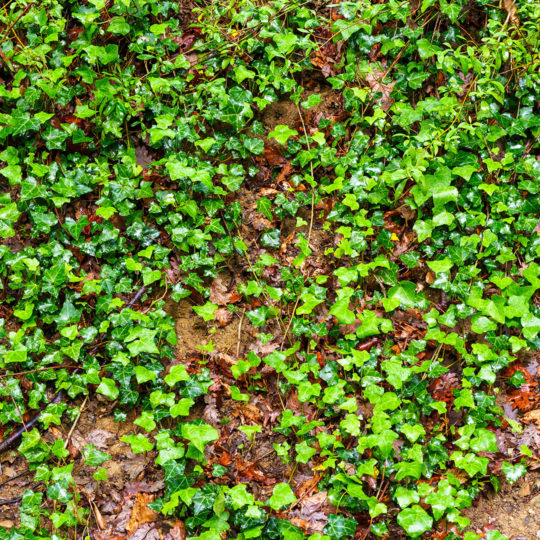 Lawn Invasion – Ground Ivy