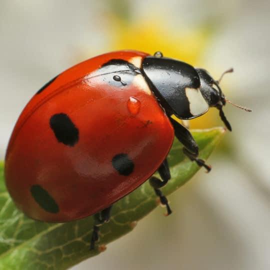 Ladybugs Green Lawn Fertilizing
