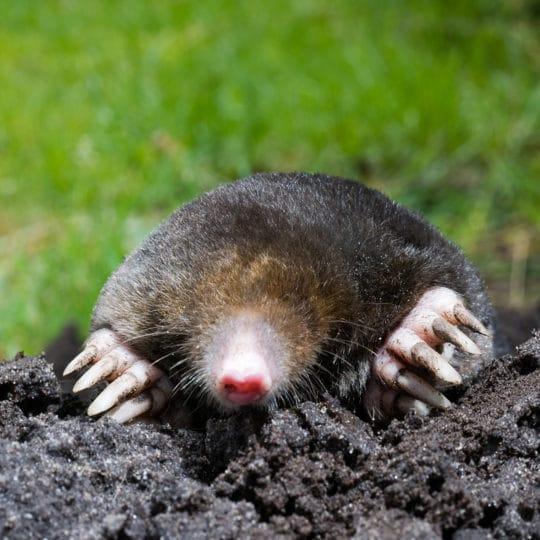 Moles and Voles