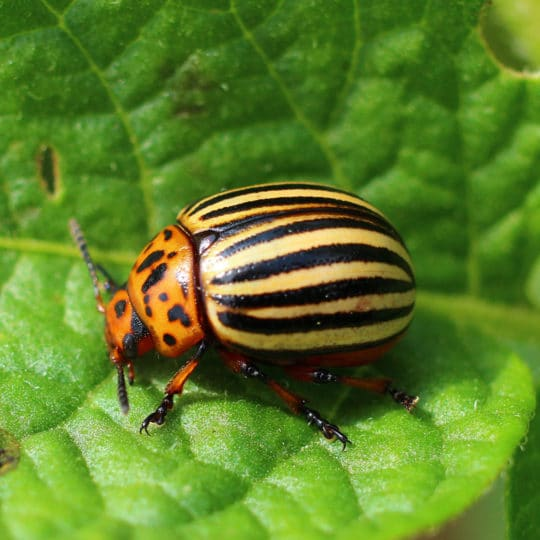 Potato Beetles