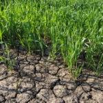 Grass drought