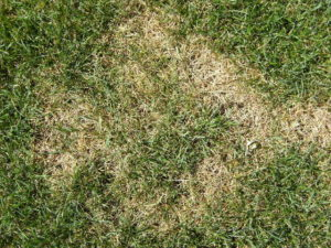 Common lawn diseases: Summer Patch
