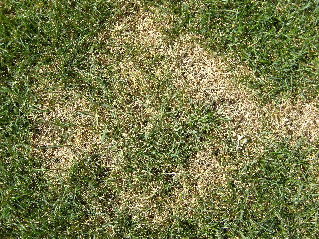 Grass Disease The 5 Most Common Causes