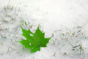 leaf on snow