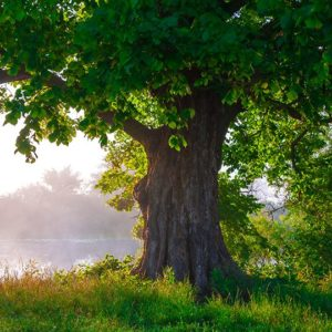 Healthy trees - oak