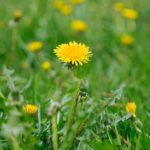 How to Prevent Dandelions