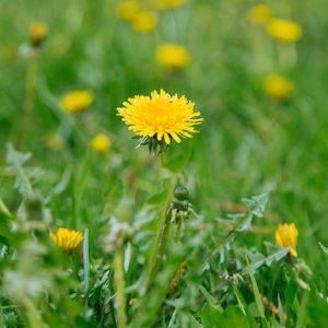 Dandelion in lawn