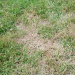 How to Get Green Grass After a Drought