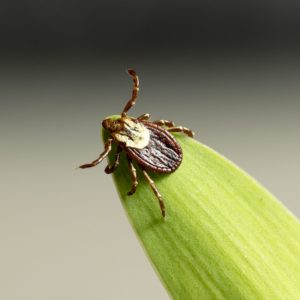 Tick on leaf