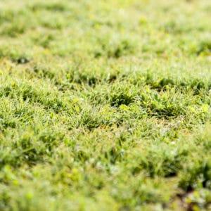 lawn-moss