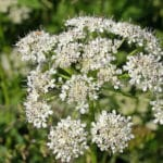 How to Control Hogweed in Pennsylvania