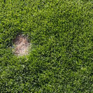 lawn-fungus