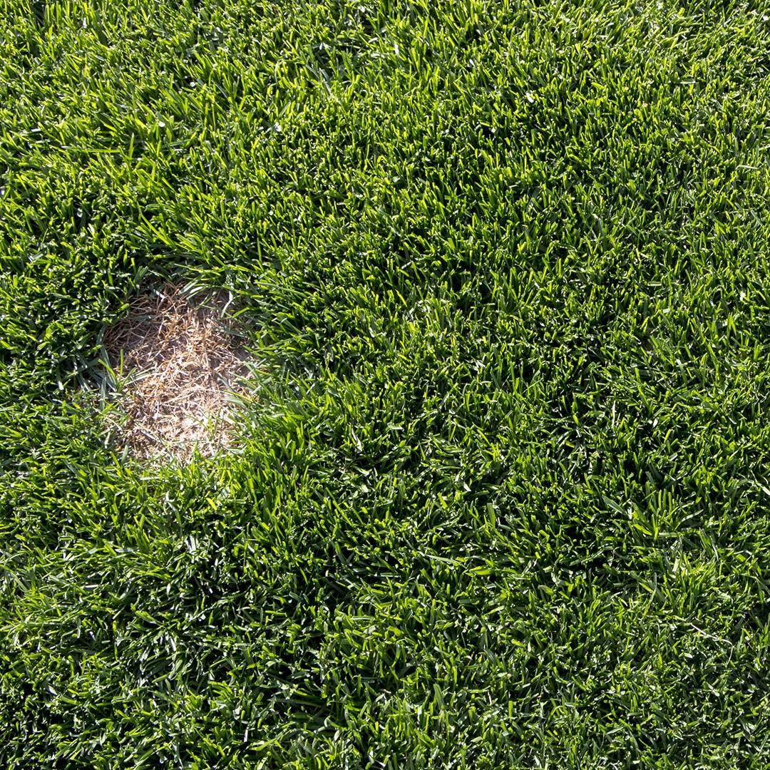How To Get Rid Of Dollar Spot Fungus Green Lawn Fertilizing