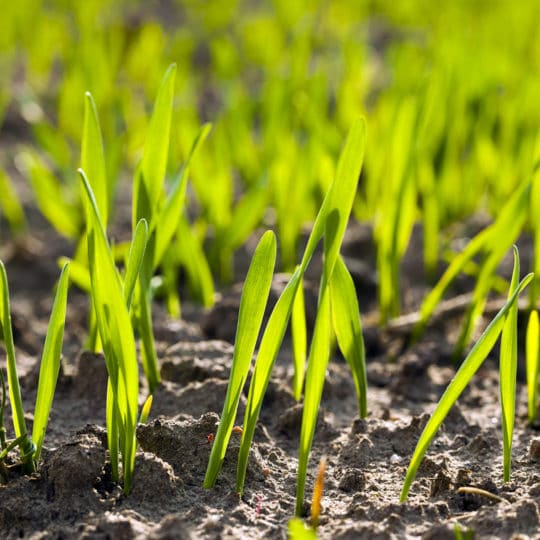 grass-sprouts