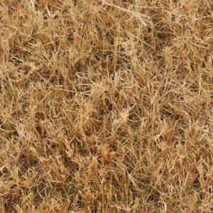 brown-lawn