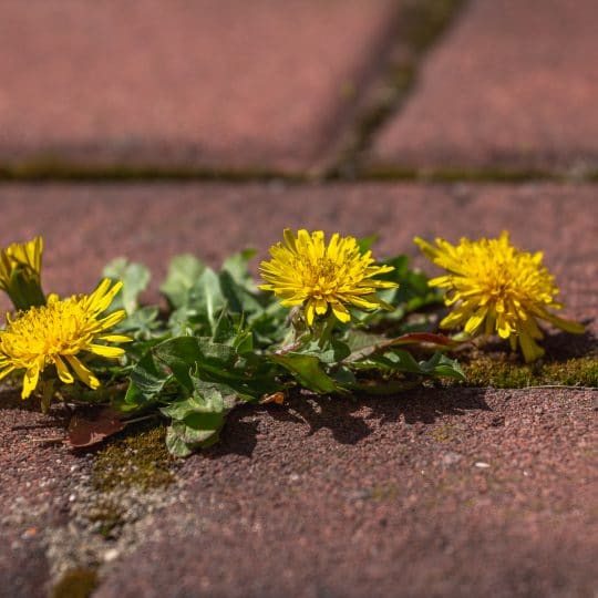 How to Get Rid of Weeds Growing Between Pavers