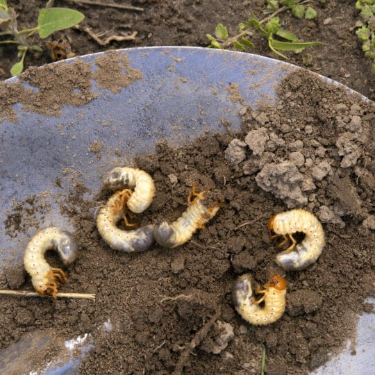 What to do if you found grubs