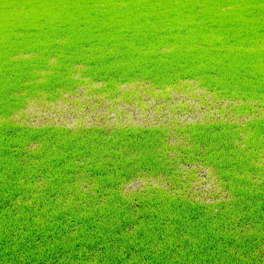 Does Lawn Fungus Go Away on Its Own?